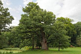 Eiche im Schlosspark in Gadow