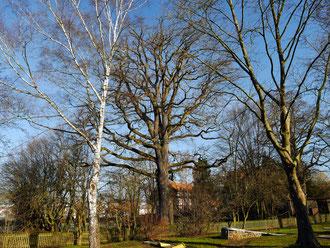 Schlosseiche in Mackenzell