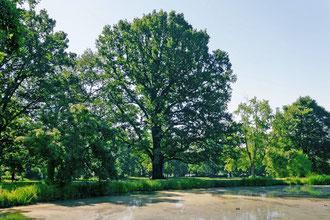 Eiche im Schlosspark Friedenstein in Gotha