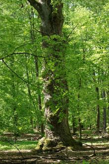 Saufangeiche im Glemswald bei Stuttgart