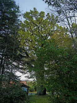 Tausendjährige Eiche beim Schloss Eisenhammer bei Neuenschmidten