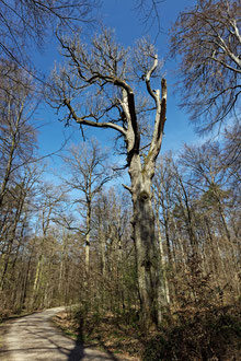 Bogeneiche im Rotwildpark Stuttgart