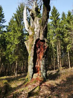 Dicke Eiche bei Holzminden