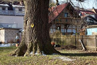 Eiche auf dem alten jüdischen Friedhof in Schmalkalden