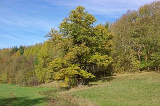 Eiche im Karpketal bei Fürstenberg