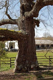 Tausendjährige Eiche auf dem Hovener Hof bei Weilerswist