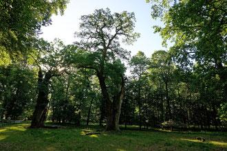 2. Eiche am Eingang im Tiergarten Ivenack