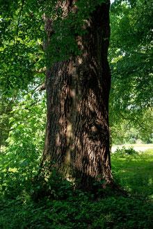 Missionseiche im Schlosspark Neugattersleben