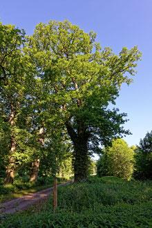 Eiche bei Holzhausen