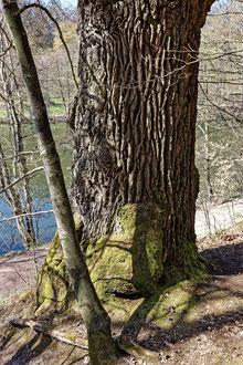 Klumpfuß-Eiche im Rotwildpark Stuttgart