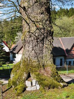 Goethe-Eiche in Silkerode