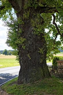 Eiche bei Spitzkunnersdorf
