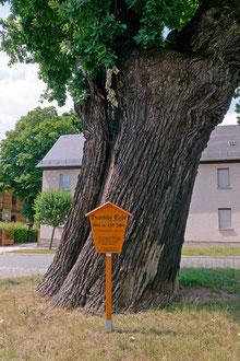 Wappeneiche in Berga