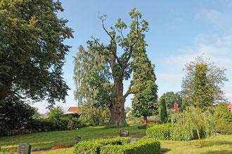 Eiche auf dem Friedhof in Barkow
