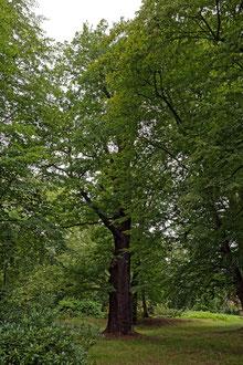 Eiche im Park bei Uhyst