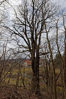 Dicke Eiche bei Oehrenstock