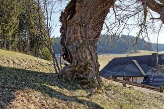 Wendelineiche bei Langenordnach
