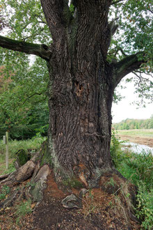 Eiche am Kapengraben bei Oranienbaum