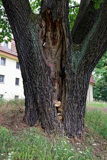 Eiche in Bad Liebenwerda