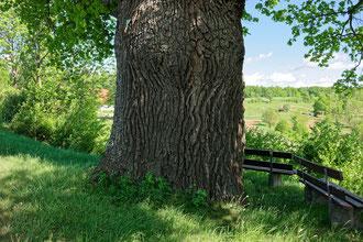 Friedenseiche bei Rudersberg