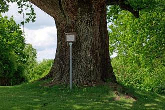 Eiche beim Golfpark Gerolsbach bei Gerolsbach