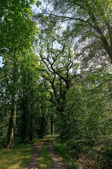 Eiche am Pferdegrab bei Beetzendorf
