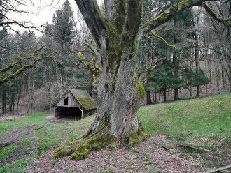 Eiche am Kölblinshof bei Reichenbach