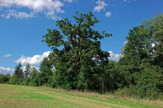 Große Eiche bei Ottersdorf