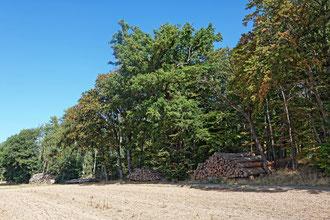 Eiche bei Viesebeck