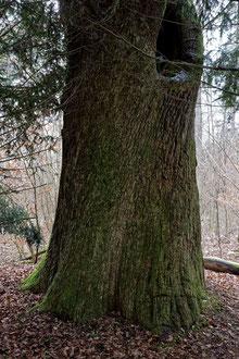 Die Stiereiche bei Fronhofen, Alter, Umfang, Brusthöhenumfang, Höhe, Stieleiche, Eiche, Naturdenkmal