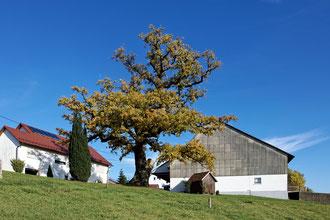 Alte Eiche am Faulherrnhof bei Dewangen