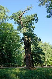 Knusteiche im Ivenacker Tiergarten
