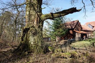 Eiche am Forsthaus Hirschberg bei Bracht