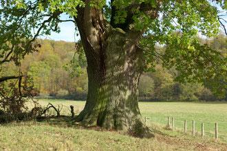 Eiche im Piebenbachgrund bei Kloster Dalheim