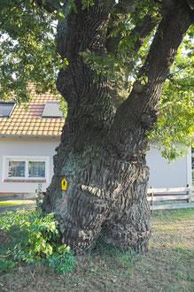 Saretzeiche in Saspow