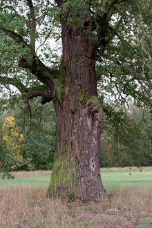Eiche auf der schönen Birkenwiese bei Vockerode