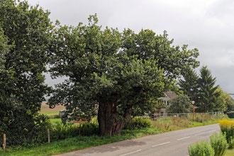 Eiche in Dutzow