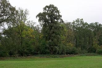 Einzeleiche im Severtin bei Wörlitz