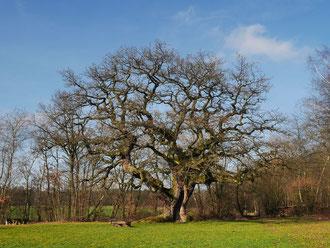 Tausendjährige Eiche, Reith, Umfang, Brusthöhenumfang, Stieleiche, Eiche, Naturdenkmal