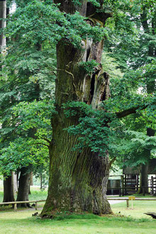 Eiche am Eingang im Tiergarten Ivenack