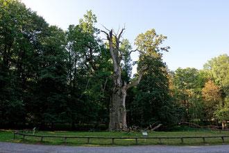 Pferdekopfeiche im Ivenacker Tiergarten