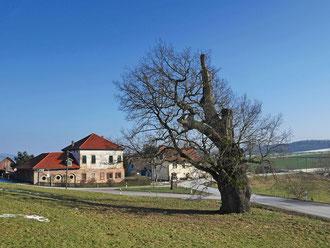 Große Eiche am Thurmgut bei Hermannsfeld