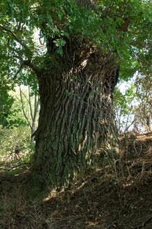 Eiche bei Rothenmoor