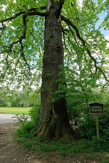 Schindereiche bei Kirchheim unter Teck