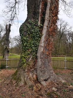 Tiergarteneiche im Tiergarten Kirchrode bei Hannover