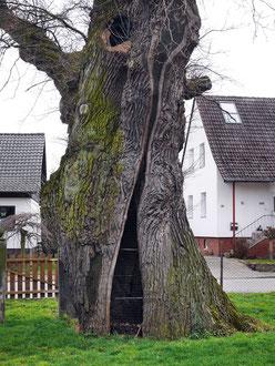 Tausendjährige Eiche in Vörie