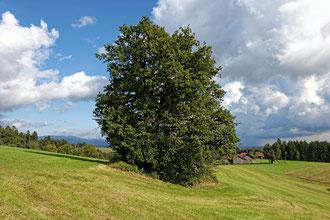 Eiche bei Oberpischlsberg
