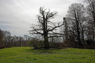Eiche im Park von Haus Caen