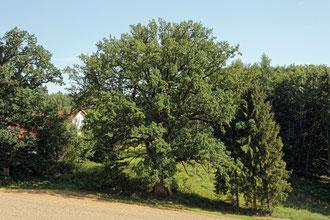 Eiche am Taschnerhof bei Eggenfelden