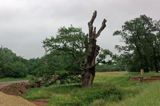 Eiche im Wiesenpark in Magdeburg
